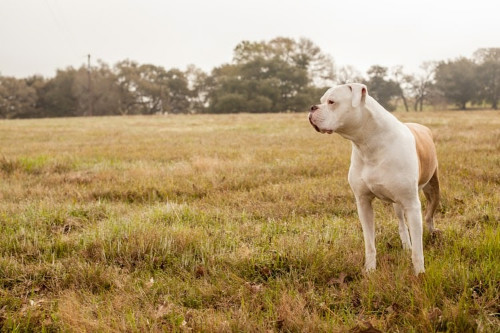 bull dog standing looking over his or hers right shoulder in a field with trees in the back ground