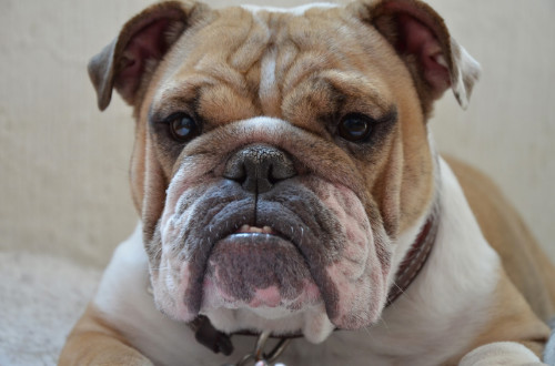 chunky english bulldog with forehead wrinkles and teeth sticking out of a closed mouth laying down
