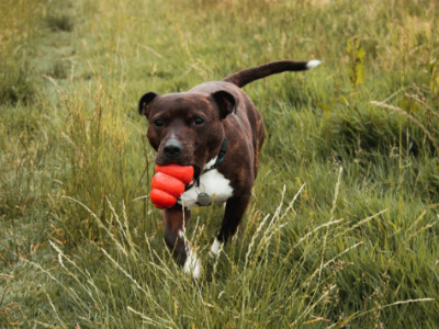 dog with red chew toy in mouth while walking in a meadow