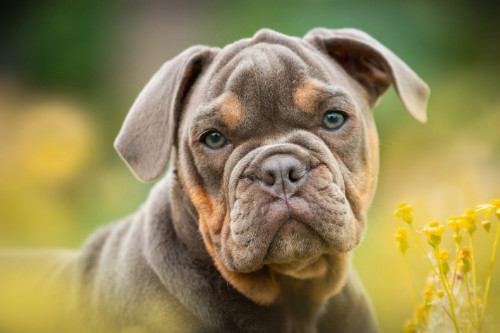 english bulldog puppy looking at the camera with blurred background