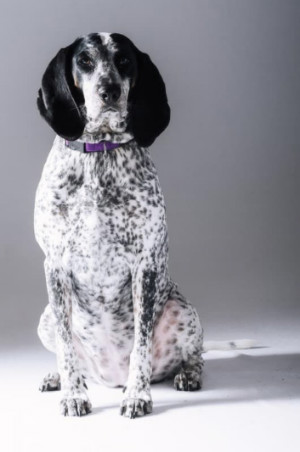 bluetick coonhound black and white staring directly at the camera
