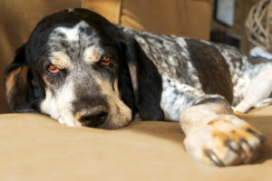 bluetick coonhound dreary eyed on a couch