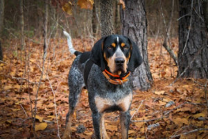 bluetick coonhound in the woods