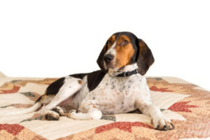 bluetick coonhound laying on a quilt