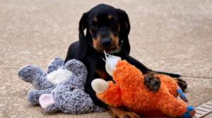 bluetick coonhound with toys