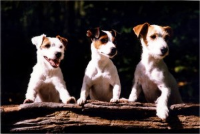 3 Jack Russell Terriers Leaning on a Tree Trunk
