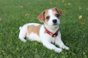 baby jack russell terrier laying down in a field of grass