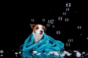 Jack Russell Terrier Covered in a Towel with Bubbles Floating around the Jack Russell Terrier
