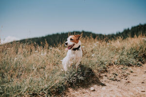 jack russell terrier frolicking in a field with tongue out