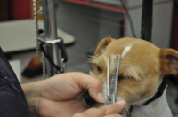 Jack Russell Terrier Having its Fur Cut on Its Eyebrows