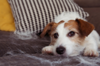 Jack Russell Terrier Laying Down on a Couch with Dog Hair Around the Dog