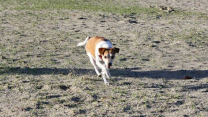 jack russell terrier running in a field of dirt