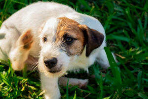 Jack Russell Terrier scratching his ear