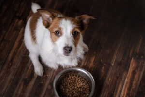 jack russell terrier sitting on a hardwood floor in front of a bowl of dog food staring up at you