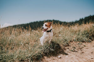 Jack Russell Terrier Sitting on a Hill Looking Out to the Left