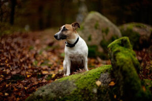 Jack Russell Terrier Sitting on a Rock In The Woods Looking to the Left