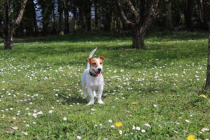 jack russell terrier standing in a field
