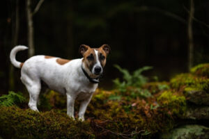 Jack Russell Terrier Standing on Green and Brown Moss in the Woods