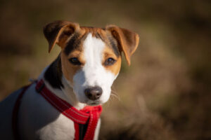 jack russell terrier staring in a field