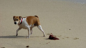 jack russell terrier walking on the beach