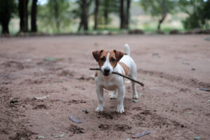 Jack Russell Terrier with a stick in his mouth in a field of dirt