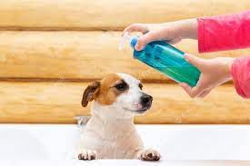 Jack Russell Terrier with Perfume Being Spritzed on the Dog