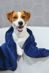 Jack Russell Terrier with the Dogs Mouth Open Covered in a Towel