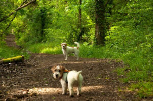 Two Jack Russell Terriers on a Dirt Path in the Woods